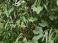 Trichosanthes tricuspidata (14520541915).jpg