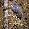 Tricolored Heron-27527-2.jpg