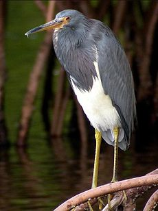 Tricolored Heron - Tarpon Springs FL.jpg
