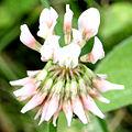 Trifolium repens 6848.jpg