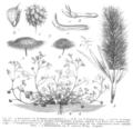 Trifolium spp Taub113.png