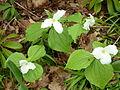 Trillium grandiflorum (Kowal garden).jpg