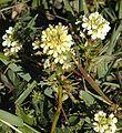 Triphysaria floribunda.jpg