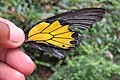 Troides minos - Southern Birdwing - part of male wing at Iritty (6).jpg