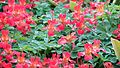 Tropaeolum with dew.jpg