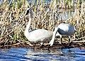 Trumpeter swan pair on Seedskadee National Wildlife Refuge (34175091454).jpg