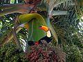 Tucano-toco (Ramphastos toco) em palmeira.jpg
