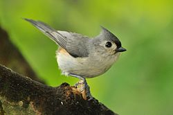 Tufted Titmouse, West Road.jpg