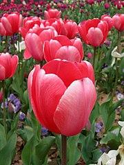 Tulip - floriade canberra03.jpg