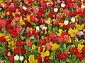 Tulip 1300183.jpg