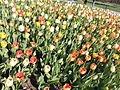 Tulips at Albany Festival8.jpg