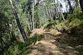 Turkish pine trees, Canyon Kapıkaya 11.jpg