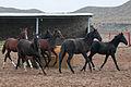 Turkmen Studfarm - Flickr - Kerri-Jo (48).jpg