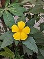 Turnera ulmifolia 40.jpg