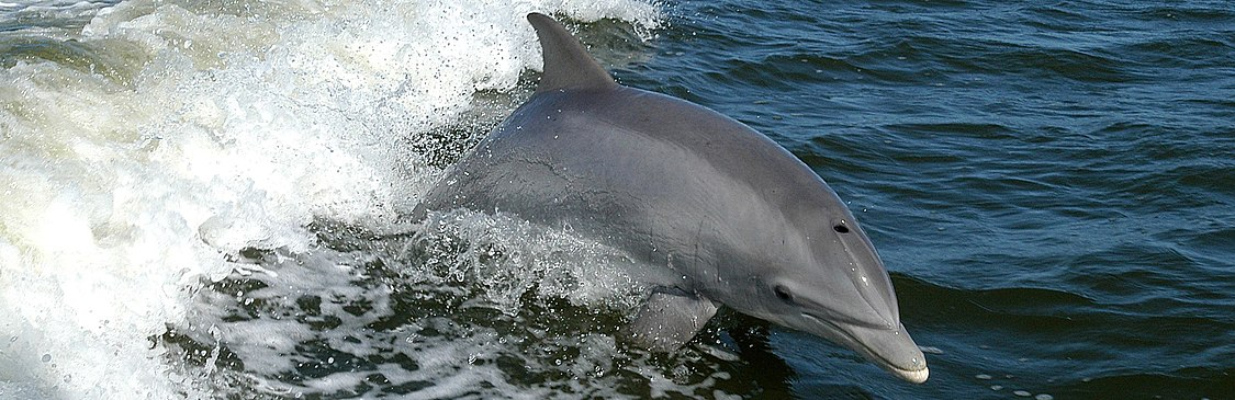 Tursiops truncatus 01 (Cropped).jpg