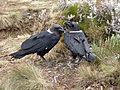 Two white-necked raven.JPG