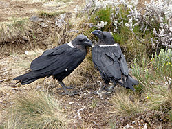 Two white-necked raven.JPG