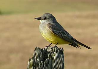 Squeaky toy - A western kingbird.