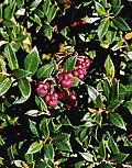 Ugni candollei, fruit (8651636451).jpg