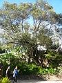 Ullastre del Parc Güell P1500841.jpg