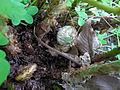 Unidentified Polypodium (New fronds).jpg