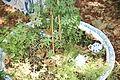Unidentified plant in Geffrye Museum 05.JPG