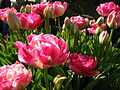 Unidentified species of pink tulips.JPG