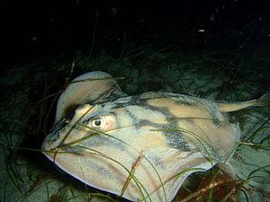 Urolophus cruciatus