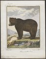 Ursus arctos - 1700-1880 - Print - Iconographia Zoologica - Special Collections University of Amsterdam - UBA01 IZ22600035.tif