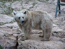 Ursus arctos syriacus in Jerusalem Biblical Zoo alone.JPG