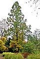 Urwaldmamutbaum, Mühlengraben, Cottbus.jpg