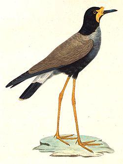 Vanellus macropterus.jpg