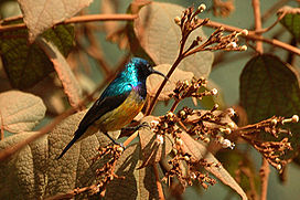 Variable sunbird.jpg