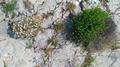 Vegetazione rupicola versante Est del Grammondo.png