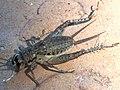 Velarifictorus micado-paralyzed dorsal.jpg