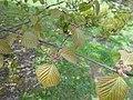Viburnum betulifolium 2017-04-17 7474.jpg