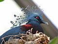 Victoria Crowned Pigeon RWD3.jpg