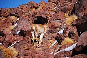 Vicuña - A vicuña on rocky terrain