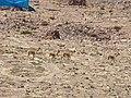 Vicuñas en la bajada de apacheta - panoramio.jpg