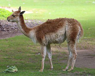 Vicuña - Image: Vikunja Lama vicugna Tierpark Hellabrunn 12