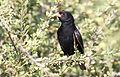 Village indigobird, Vidua chalybeata, at Mapungubwe National Park, Limpopo, South Africa (male) (17849770440).jpg