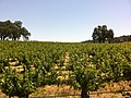 Vineyards in the Paso Robles AVA at Justin.jpg