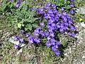 Viola calcarata clump.jpg