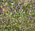 Viola odorata1 ies.jpg