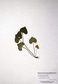 Viola pubescens var. scabriuscula BW-1979-0706-0739.jpg