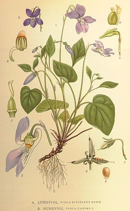 Viola riviniana and canina.jpg
