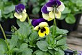 Viola tricolor Nature Blue & Yellow 0zz.jpg