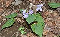 Viola vaginata s5.jpg