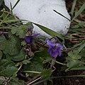 Violette odorante-Viola odorata-Pleiney-Fleurs-20150326.jpg
