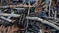 Virginia Ctenucha Moth (Ctenucha virginica) Larva - London, Ontario 2015-04-12.jpg